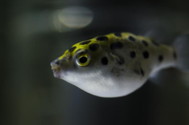 midorifugu kaikata