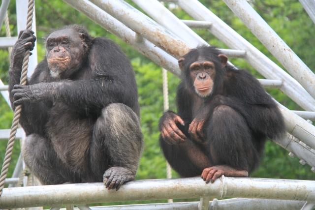 chimpanji kinniku